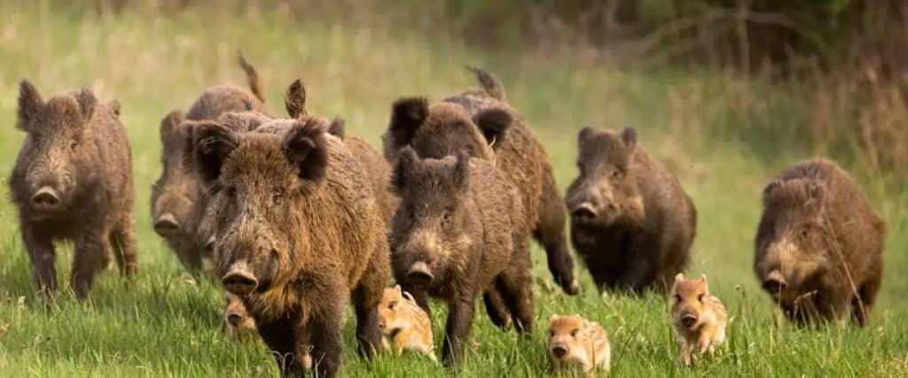 best hog hunting states