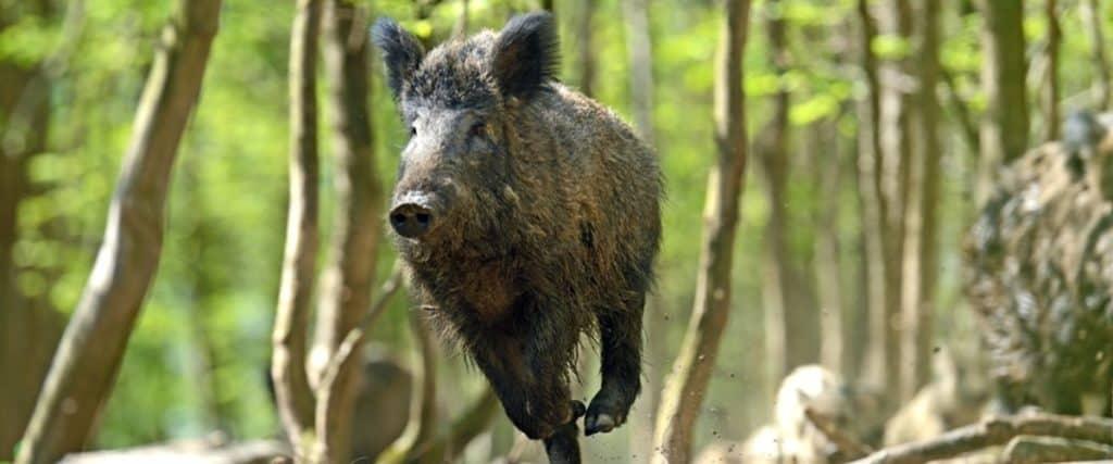wild hog kill zone